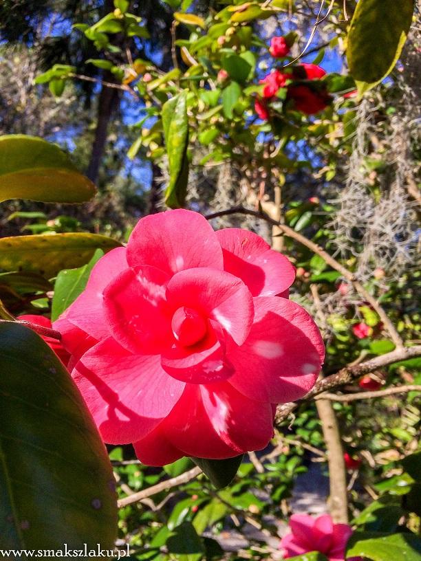 Plantacja Magnolii
